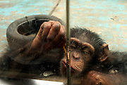 ZHENGZHOU, CHINA - MAY 13: (CHINA OUT) <br /> <br /> Smart Chimpanzee In Zhengzhou<br /> <br /> A chimpanzee uses a stick to get melon seeds after tourists put them into a gap between two adjacent pieces of glass at Zhengzhou Zoo on May 13, 2013 in Zhengzhou, Henan Province of China. <br /> ©ChinaFoto/Exclusivepix