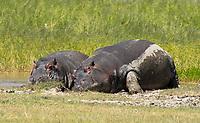 Two Hippopotamuses, Hippopotamus amphibius, rest at the edge of a pond in Ngorongoro Crater, Ngorongoro Conservation Area, Tanzania