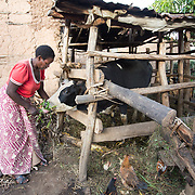 CAPTION: The money raised through animal rearing has helped the family meet school- and household-related expenses. Scholastic recently stepped up from keeping medium-sized animals, purchasing cattle with the help of loans she took from microfinance organisation SACCO. This cow is currently pregnant, and when she gives birth to a calf, Scholastic plans to let it grow to around one year old and then sell it. She is delighted to see how her investment is paying off. LOCATION: Kabuga Village, Gafumba Cell, Rusatira Sector, Huye District, South Province, Rwanda. INDIVIDUAL(S) PHOTOGRAPHED: Scholastic Mukamuganga.