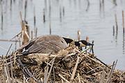Canada goose nesting on muskrat house.