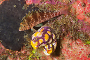 Pixy Hawkfish with Tunicate (Sea Squirt).(Cirrhitichthys oxycephalus with Polycarpa aurata).Lembeh Straits,Indonesia