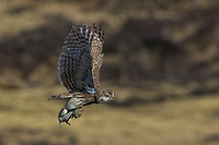Little Owl, Athene noctua, flying with a killed pika on the Tibetan Plateau, Yushu, Haixi, Qinghai, China