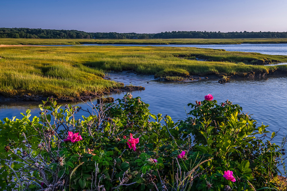 Roses and tidal marsh views in summer, with water & grass patterns, Wells, ME