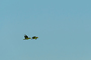 Yellow-crowned Amazon Parrot (Amazona ochrocephala)<br /> Savanna <br /> Rupununi<br /> GUYANA<br /> South America