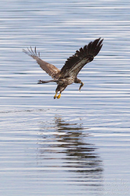 A juvenile bald eagle (Haliaeetus leucocephalus) takes off with a midshipman fish that it caught in the Hood Canal near Seabeck, Washington. Hundreds of eagles, herons, gulls, and other birds congregate in the area early each summer to feed on the migrating fish that get trapped in oyster beds during low tides.