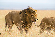 A pair of playful, mating lions (Panthera leo) walking through tall grass. Male is biting the tail of the female, Masai Mara, Kenya