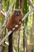 Red-bellied lemur (Eulemur rubriventer) in the forest of Palmarium Resort, Madagascar.