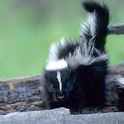 Striped Skunk, (Mephitis mephitis) Young skunks on hollow log. Summer. Captive Animal.