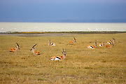 Thompson Gazelles (tommies) resting in the Ngorongoro Crater, Tanzania