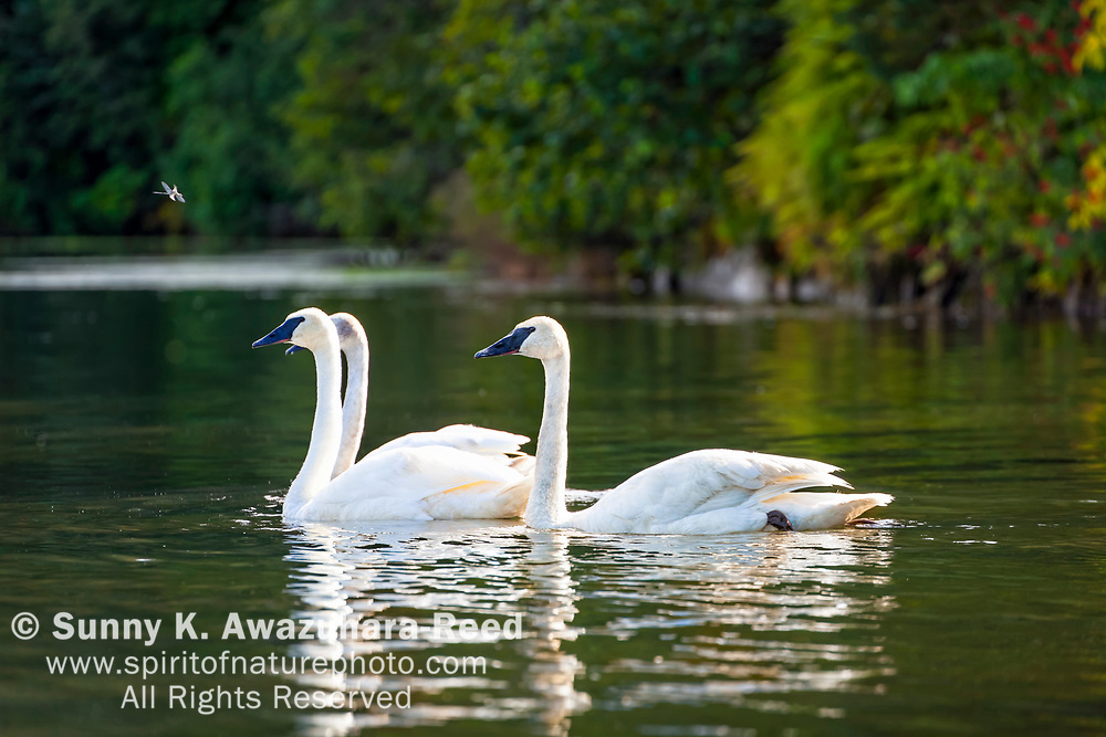 Trumpeter Swans at Robe Lake, Valdez, Southcentral Alaska, Autumn.