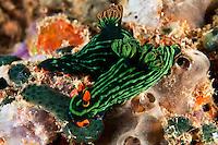 Nembrotha Nudibranchs Feeding on Tunicates<br /> <br /> shot in Indonesia