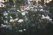 Blooming Bog rosemary (Ledum palustre) in raised bog, Vidzeme, Latvia Ⓒ Davis Ulands   davisulands.com