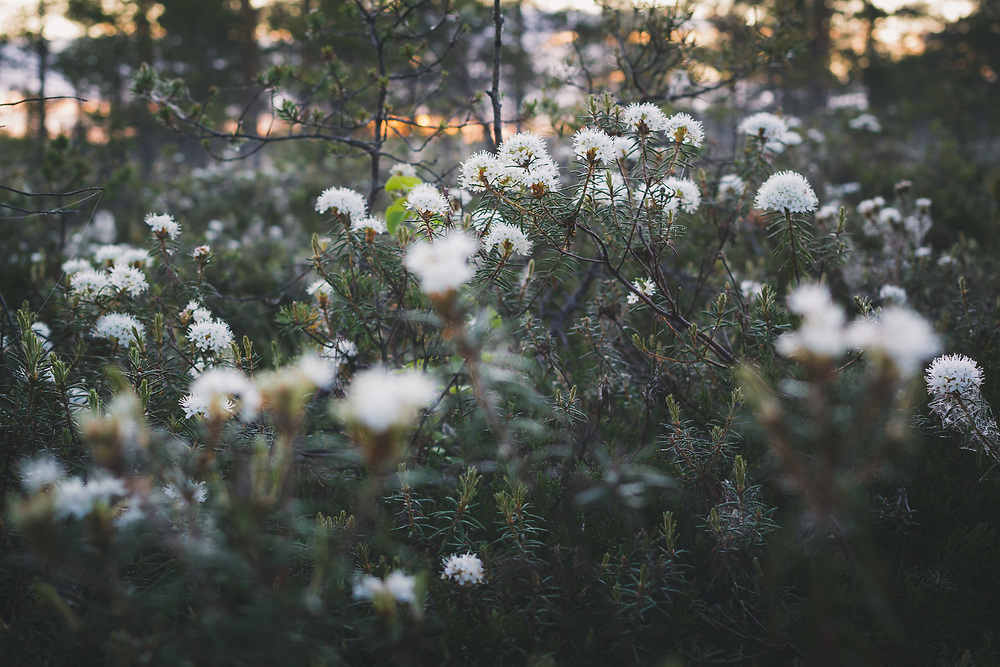 Blooming Bog rosemary (Ledum palustre) in raised bog, Vidzeme, Latvia Ⓒ Davis Ulands | davisulands.com