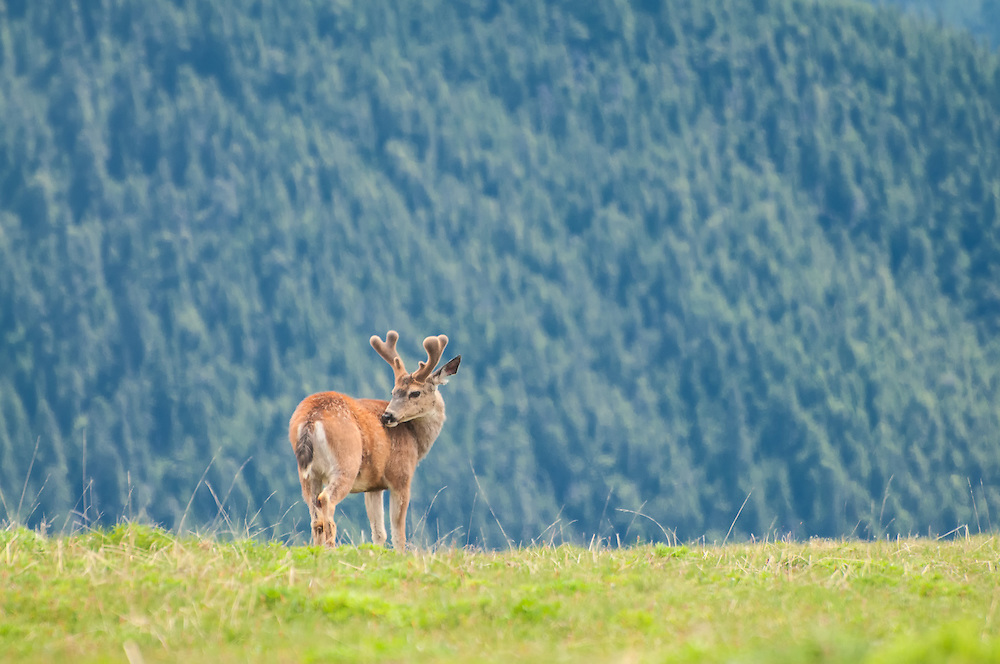 This buck clearly saw me on one of the meadows of Hurricane Ridge on Washington's Olympic Peninsula, yet from a distance behaved quite calmly and after some time I was able to get this beautifully serene shot.