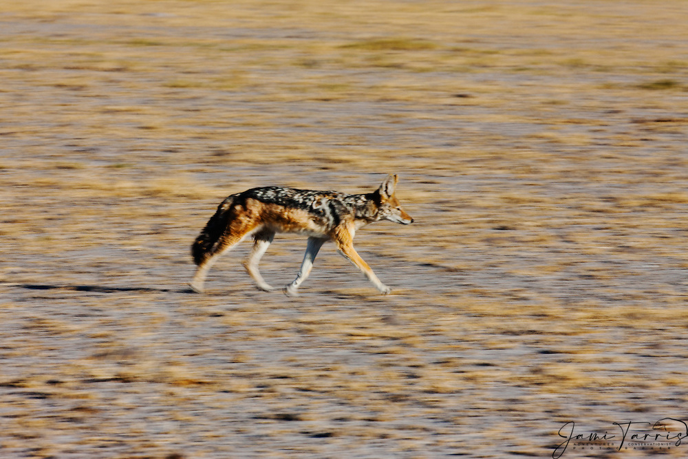 A busy black-backed jackal (Canis mesomelas) in motion and on the move, Nxai Pan, Botswana, Africa