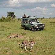 Cheetah with vehicles. Masai Mara Game Reserve, Kenya