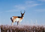 Pronghorn antelope, Antilocarpa americana, buck on frosted prairie, Badlands National Park, South Dakota.