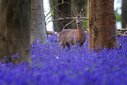 A deer roams through bluebells in Micheldever Wood in Hampshire, as the blast of Arctic weather that has brought snow to northern Scotland continues to move south.