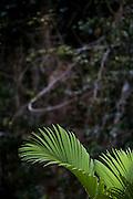 Parauapebas_PA, Brasil...Vegetacao da floresta Nacional dos Carajas, Para. Na foto detalhe de uma folha...Carajas National Forest Vegetation, Para. In the photo, detail of a leaf...Foto: JOAO MARCOS ROSA / NITRO.