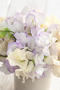 Lathyrus odoratus 'Romeo' and 'Juliet' - sweet pea