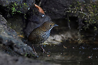 Scaly-breasted Wren-babbler or Cup-wing, Pnoepyga albiventer, sitting on ground beside water in Baihualing, Gaoligongshan, Yunnan, China