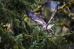 July 21, 2019 - Immature Bald Eagle  (Credit Image: © Richard Wear/Design Pics via ZUMA Wire)