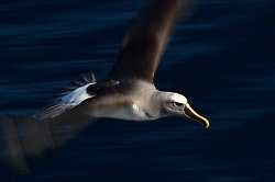 Buller's Albatross (Thalassarche bulleri) near Chatham Islands, New Zealand