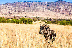 Wildabeast in Pilanesberg National Park in South Africa