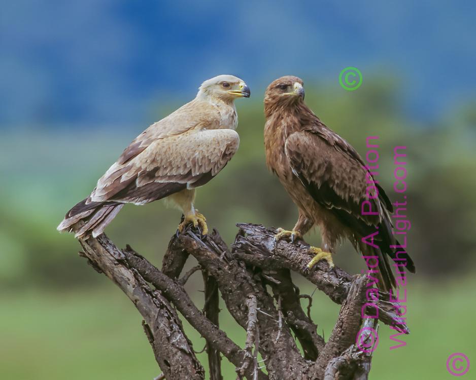 Juvenile tawny eagle with its distinctive light plumage is perched close to its darker mother, Maasai Mara National Reserve, Kenya, © David A. Ponton
