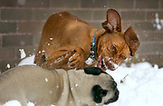 SHOT 4/11/05 5:16:55 AM - Tanner, a one year-old male Vizsla, plays in the snow with Baxter, a neighbor's dog, during an unexpected spring blizzard in Denver, Co. The Vizsla is a dog breed originating in Hungary, which belongs under the FCI group 7. The Hungarian or Magyar Vizsla are sporting dogs and loyal companions, in addition to being the smallest of the all-round pointer-retriever breeds. (Photo by Marc Piscotty / © 2005)