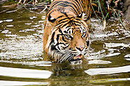 A Sumatran Tiger wades in the water.