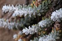 Otanthus maritimus (Otanthus maritimus), Falassarna, Crete