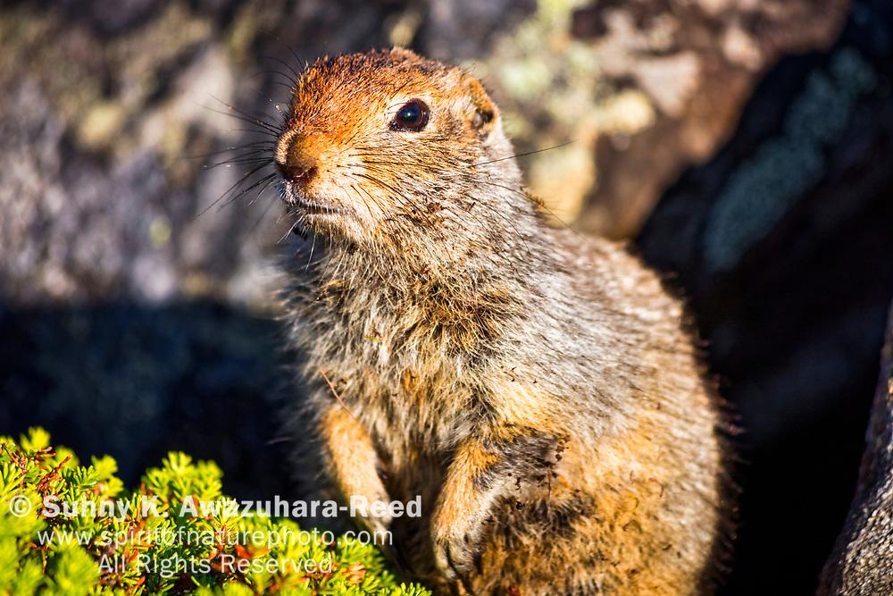 Close up of Arctic Ground Squirrel, Kesugi Ridge, Denali State Park, Southcentral Alaska, Summer.