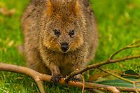 Quokka, Taronga Zoo, Sydney Harbor, Sydney, New South Wales, Australia