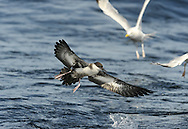 Great Shearwater - Ardenna gravis