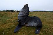 Antarctic fur seal (Arctocephalus gazella) on land
