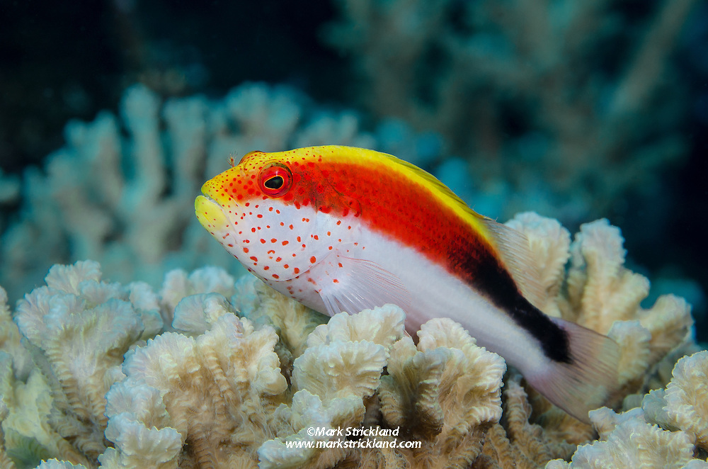 A Freckled Hawkfish, Paracirrhites forsteri, perches on hard coral. Fiji, Pacific Ocean