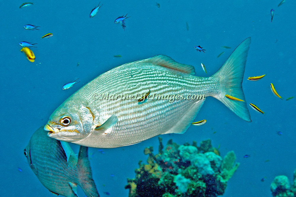 Brassy Chub inhabit reefs and adjacent areas in Tropical West Atlantic, also circumtropical; picture taken Utila, Honduras.