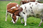 Nederland, Wijchen, 2-4-2016Bij kaasboerderij Diervoort gingen de koeien weer de wei in. Hoewel ze erg blij waren werd er niet veel gesprongen en gedanst. Wel werd onder een aantal beesten de pikorde vastgesteld door met de koppen tegen elkaar aan te duwen.FOTO: FLIP FRANSSEN