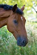 Bay horse, Oxfordshire, England, United Kingdom