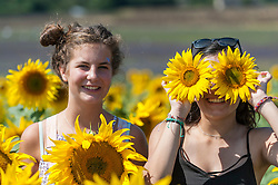 © Licensed to London News Pictures. 17/08/2016. Ickleford, UK. (L to R) Students Freya Palmer (15) and Ghazal Seidi (15) enjoy the sunflowers in the summer sunshine at Hitchin Lavender farm.  The sunflowers, which have just started to flower, and lavender fields attract visitors who can pick the flowers to take home. Photo credit : Stephen Chung/LNP