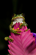 Big Eye Tree Frog (Leptopelis vermiculatus) Tanzania, Africa