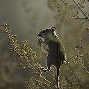 Striped Mouse, hanging on limbs of the Driedoring shrub, feeding on buds. Kalahari Desert. Africa.