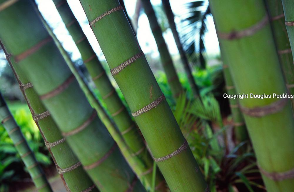 Areca palms<br />