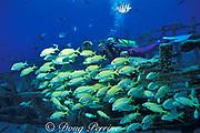 diver and grunts on Del Mar wreck, <br /> Cozumel, Mexico ( Caribbean Sea )<br /> MR 110