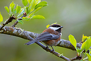 A chestnut-backed chickadee (Poecile rufescens) rests on the branch of an apple tree in Snohomish County, Washington. The chestnut-backed chickadee is found along the west coast of North America, from southern Alaska to southwestern Canada, in low elevation forests. Chestnut-backed chickadees in the southern portion of the bird's range have less reddish coloring on their flanks.