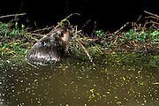 An american beaver (Castor canadensis) works on a dam at night in the Mount Hood National Forest, Oregon. Photographed with a motion sensing camera.