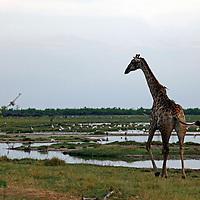 Africa, Botswana, Savute.  Giraffe of Savute.