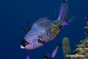creole wrasse, Clepticus parrae, Lighthouse Reef, Belize, Central America ( Caribbean Sea )