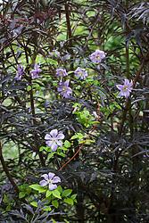 Clematis viticella 'Prince Charles' AGM growing over Sambucus nigra (Black leaved elder)
